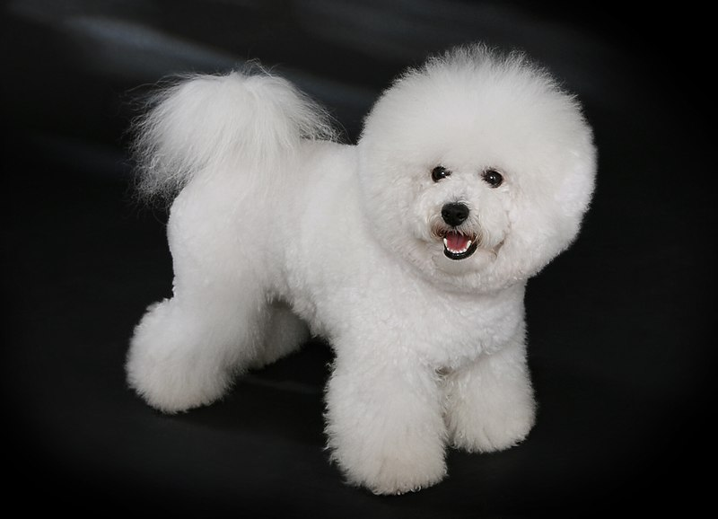 Curly Haired Dogs: Bichon Frise