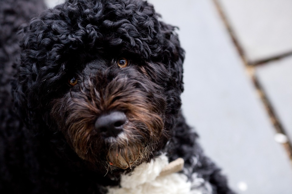 Portuguese Water Dog. is one of the dogs with hair