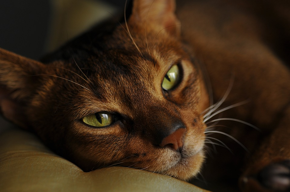 Abyssinian cat breeds featured cats
