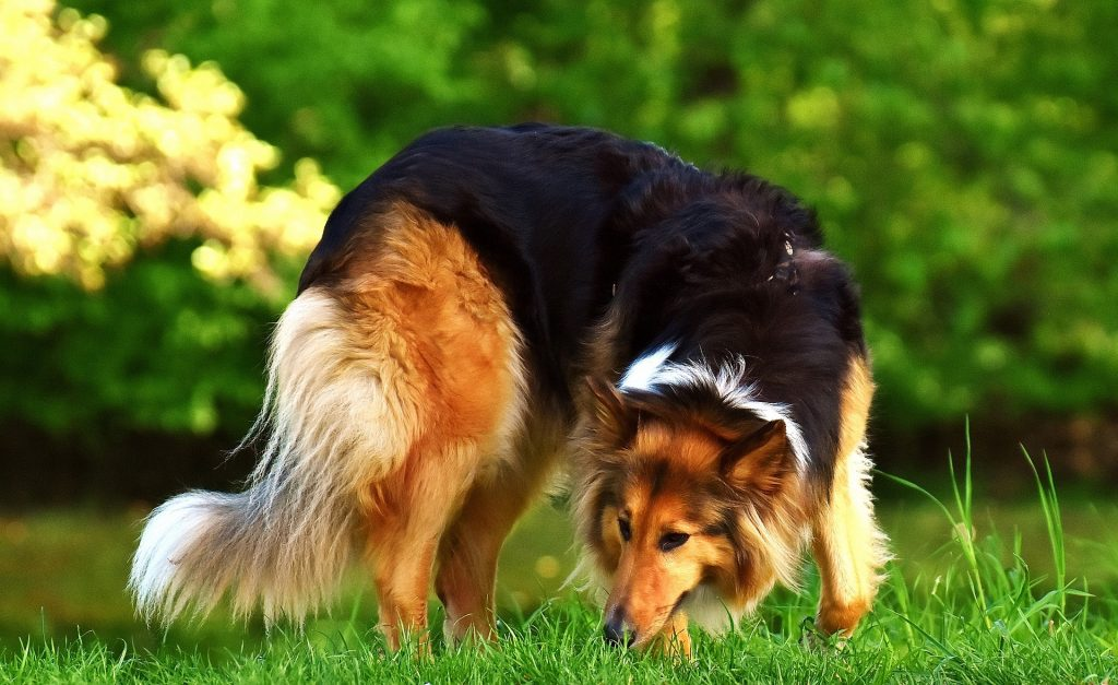 Big Dogs with Long Hair