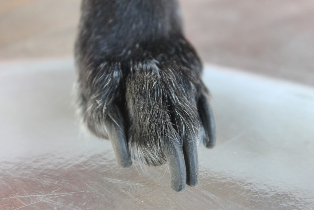 How to Find The Quick on Black Dog Nails