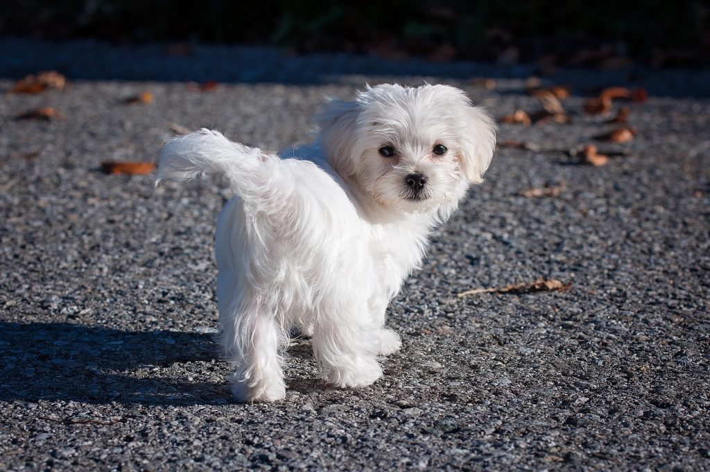 Which Dog Has Long Hair | A Maltese Dog