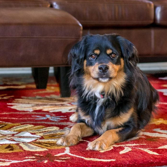 How To Get Dog Hair Out Of Carpet Easily Using Simple