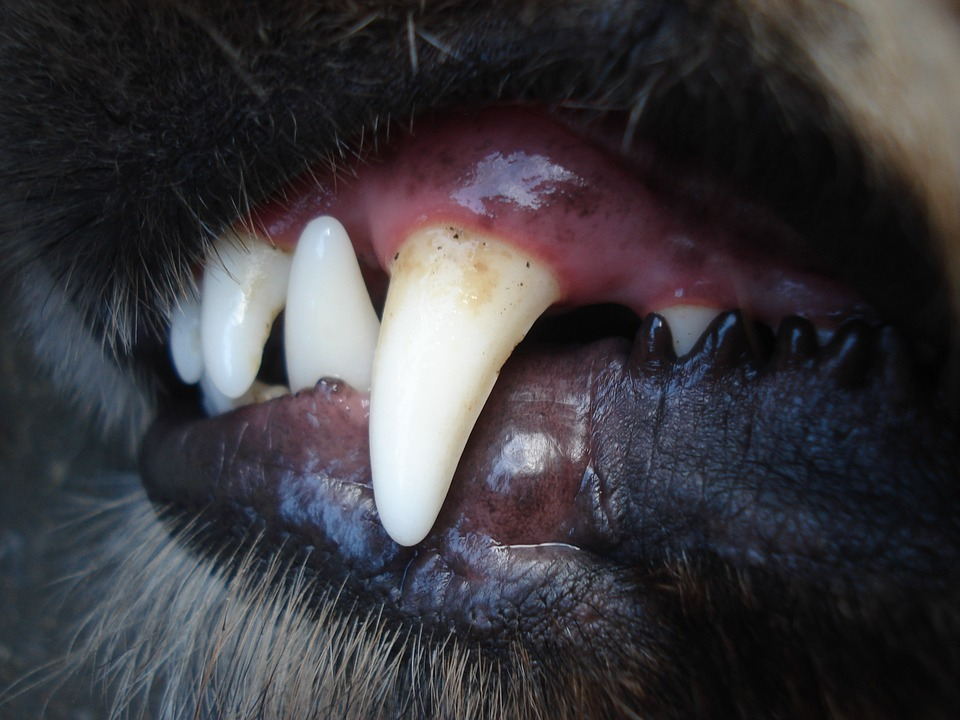 dog's fang with plaque. this a way of telling dog age by teeth