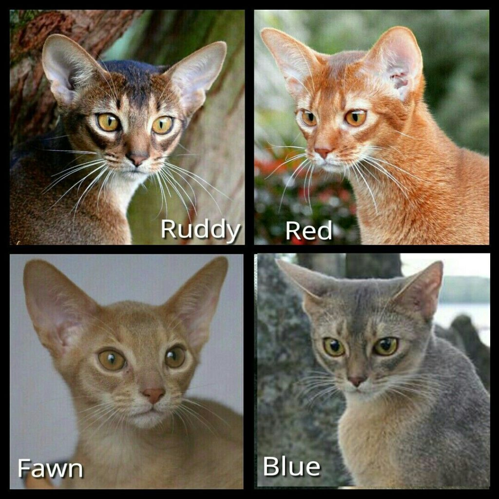 Abyssinian cat breeds coat colours