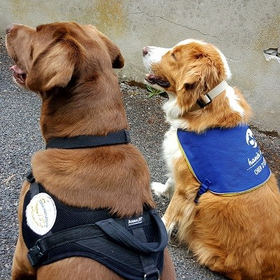 How to Train a Therapy Dog - A Walkthrough |