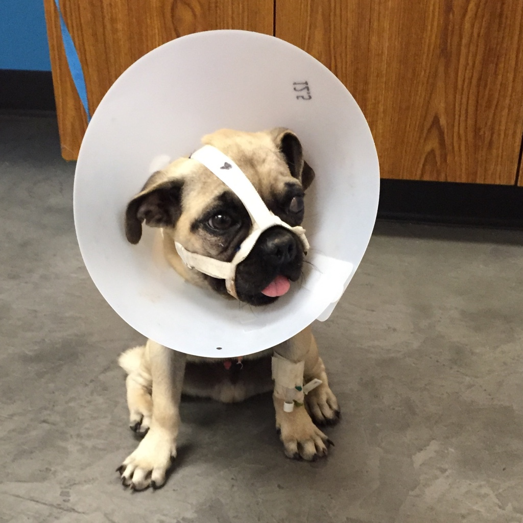 dog with a broken jaw