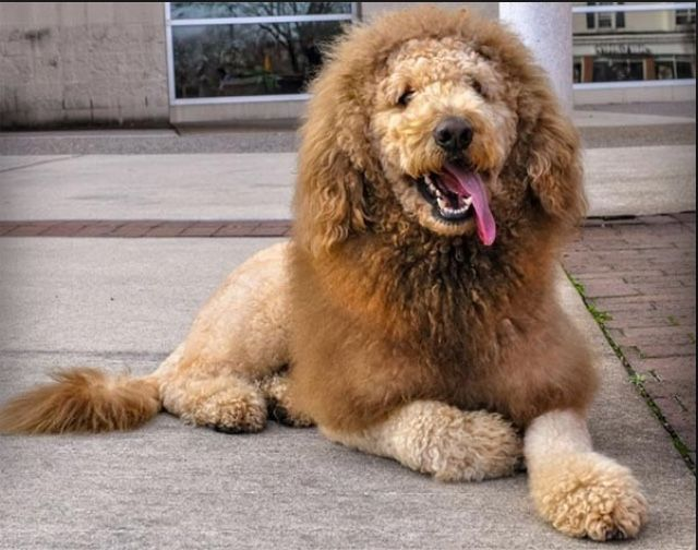 lion dog haircut