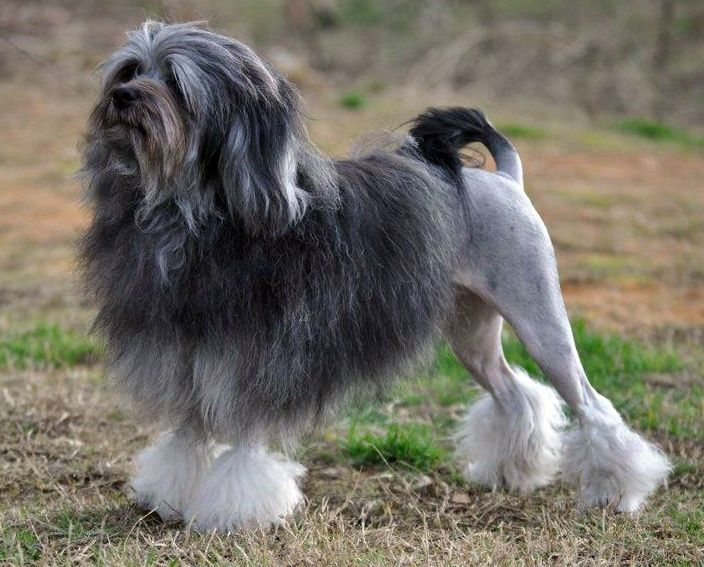 Top 11 Lion Dog Haircut Looking Great and Bad |