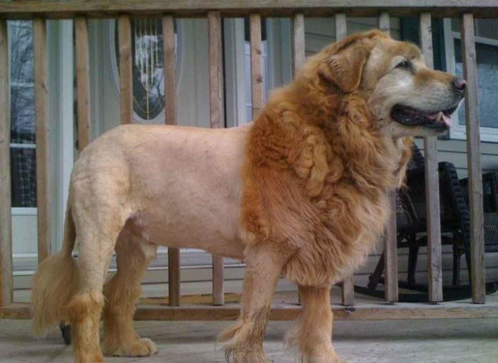 lion dog haircut: Golden Retriever