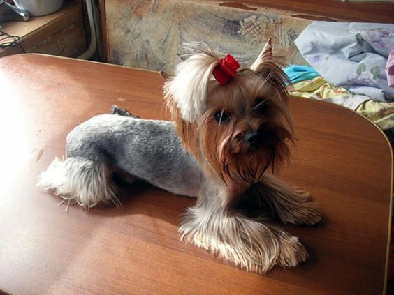 lion dog haircut: yorkies