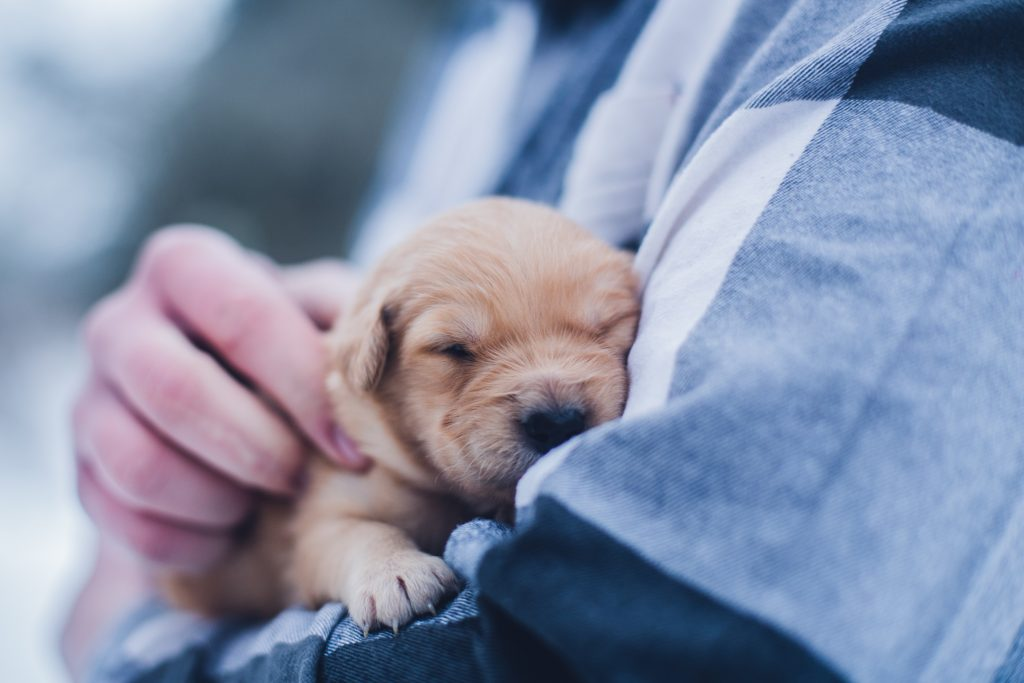 a puppy resting on the arm of owner. when do dogs lose their baby teeth