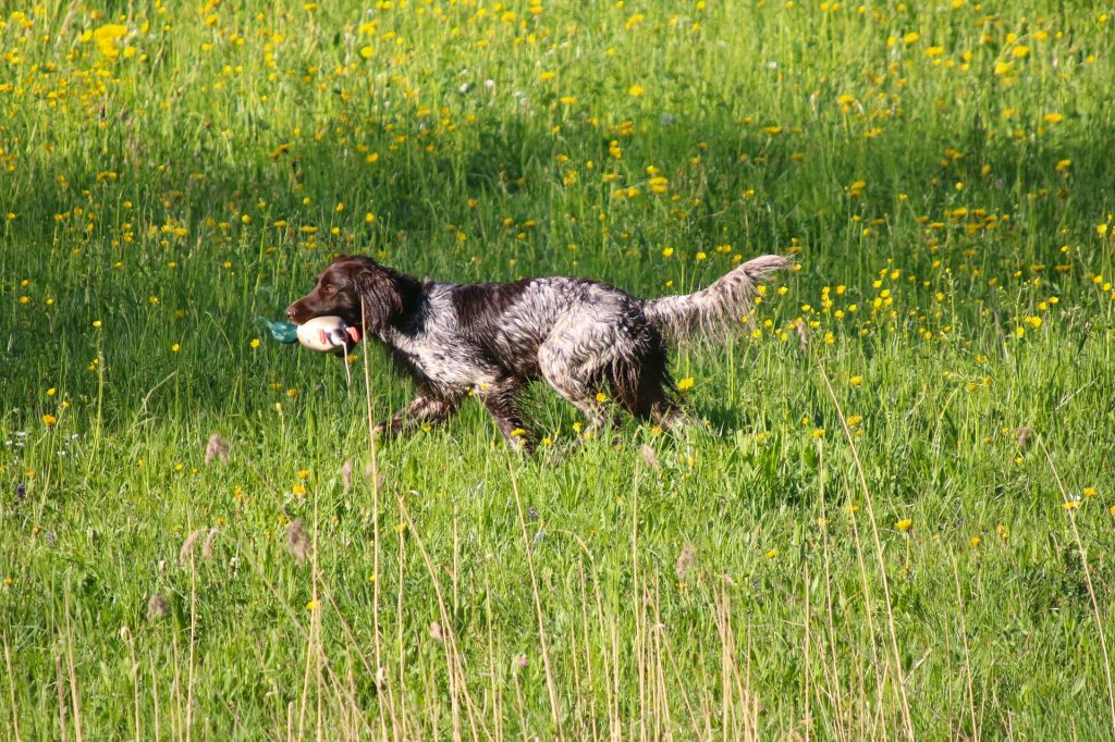 Duck Dog Training: Learn Not To Ruin It |