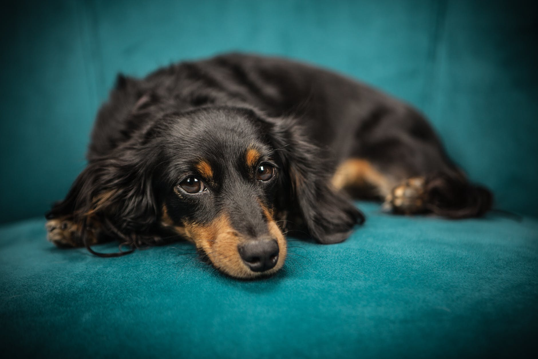 dog relaxing on a sofa. how to trim black dog nails