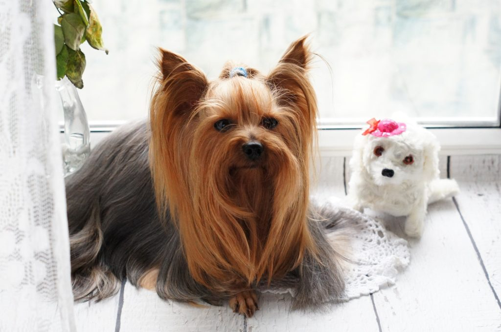 Which Dog Has Long Hair | Yorkshire Terrier