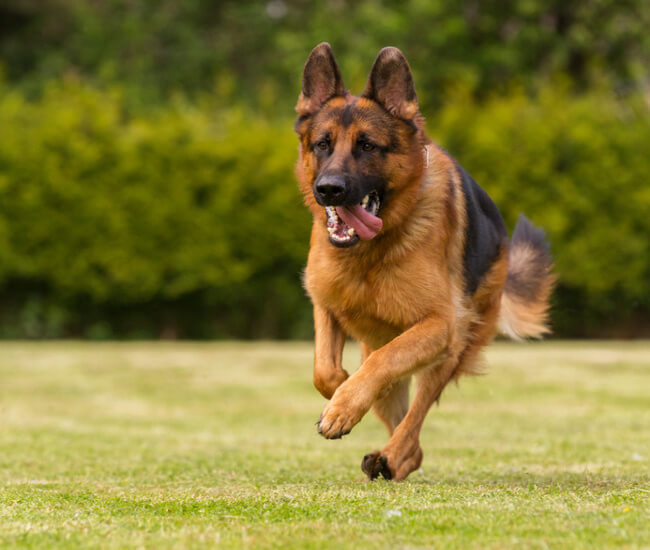 german shepherd dog pictures