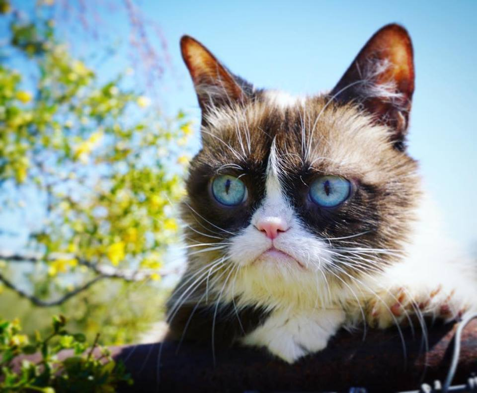 What about the breed of cat is the grumpy cat?