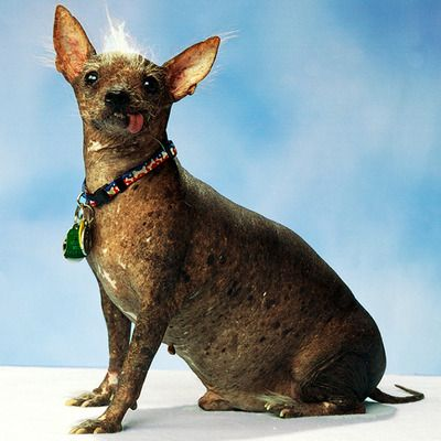 Archie, the winner in the world's ugly dog contest for 2006.