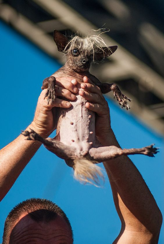 Sweepee Rambo, the winner in the world's ugly dog contest for 2016.