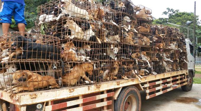 transferring hundreds of dogs to the Chinese dog eating festival