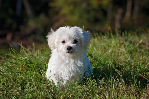long haired small dog breeds