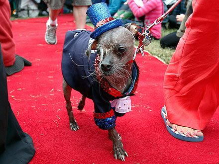 Mugly, the winner in the world's ugly dog contest for 2012.