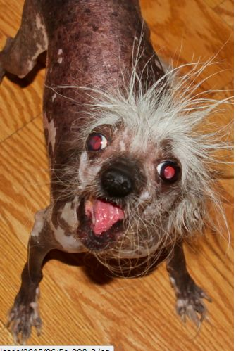 Rascal, the world's ugly dog contest for 2002