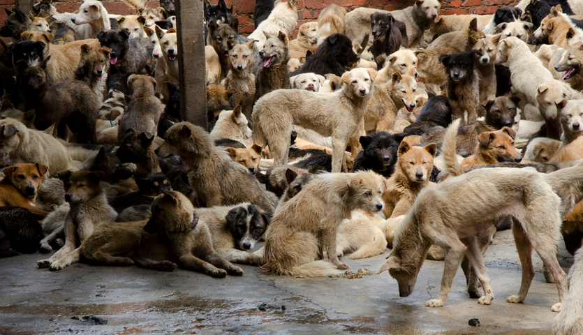 The yulin dog meat festival