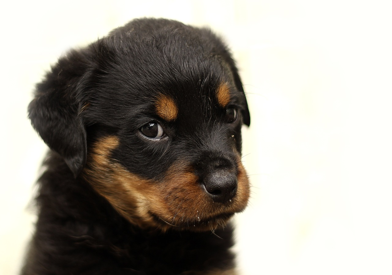 Rottweiler Puppy Training The Ultimate Guide Glamorous Dogs