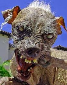 Sam, the winner in the world's ugly dog contest for 2003. 2004 and 2005.