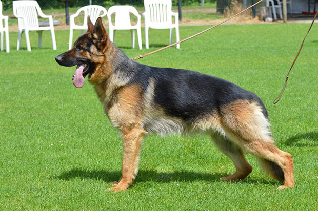 american show line gsd. different types of German shepherd dogs