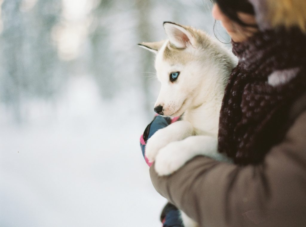 a person holding a husky puppy- dog potty training schedule