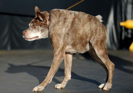 Quasi Modo, the winner in the world's ugly dog contest for 2015.