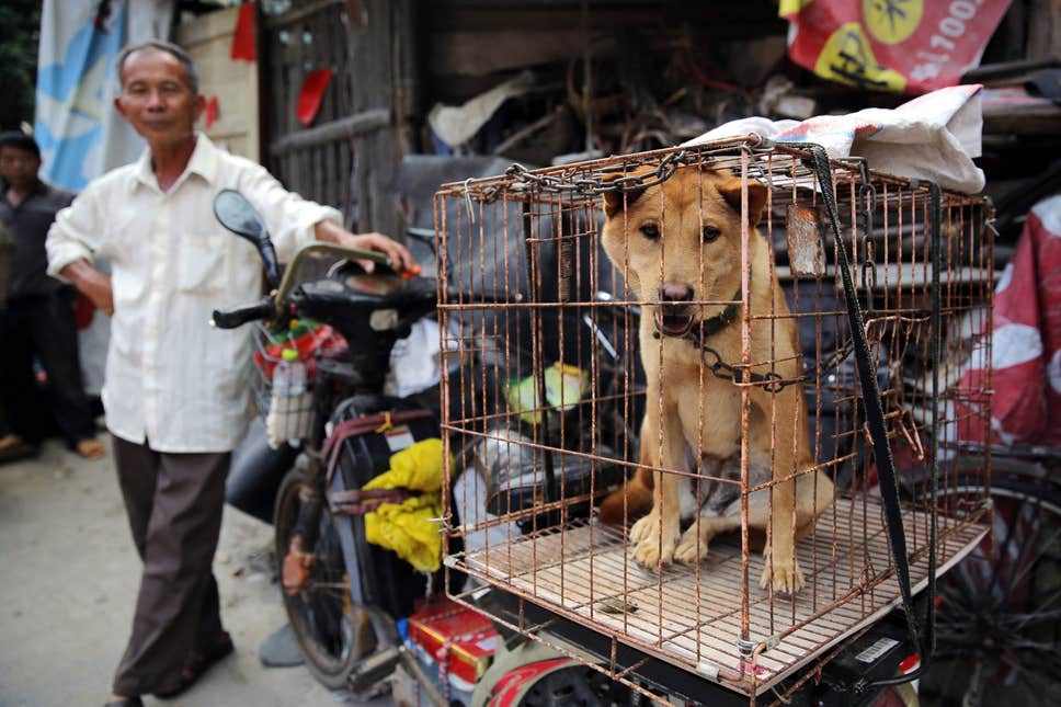 dog in a cage in the yulin dog meat festival where the Chinese do eat dogs