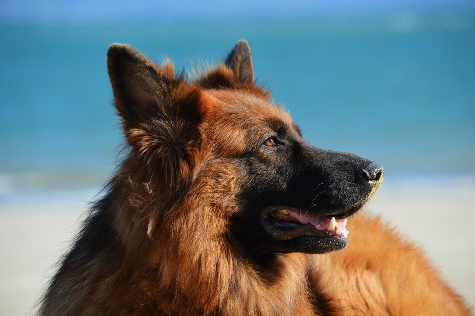 When Do German Shepherd Stop Growing? We Also Didn't Know! |