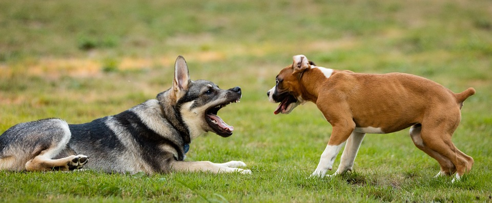 German Shepherd Personality, Trainability, Physicality And More... |