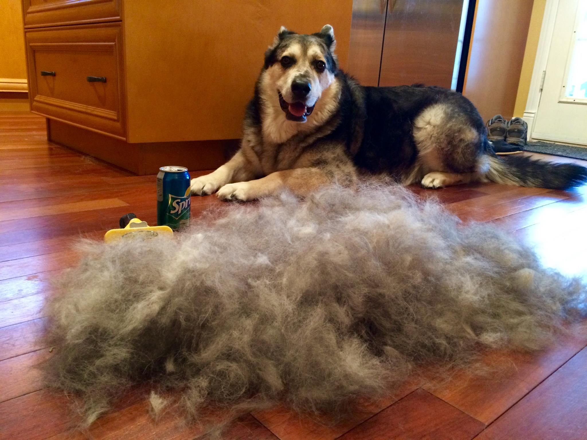 how to stop dog shedding short hair