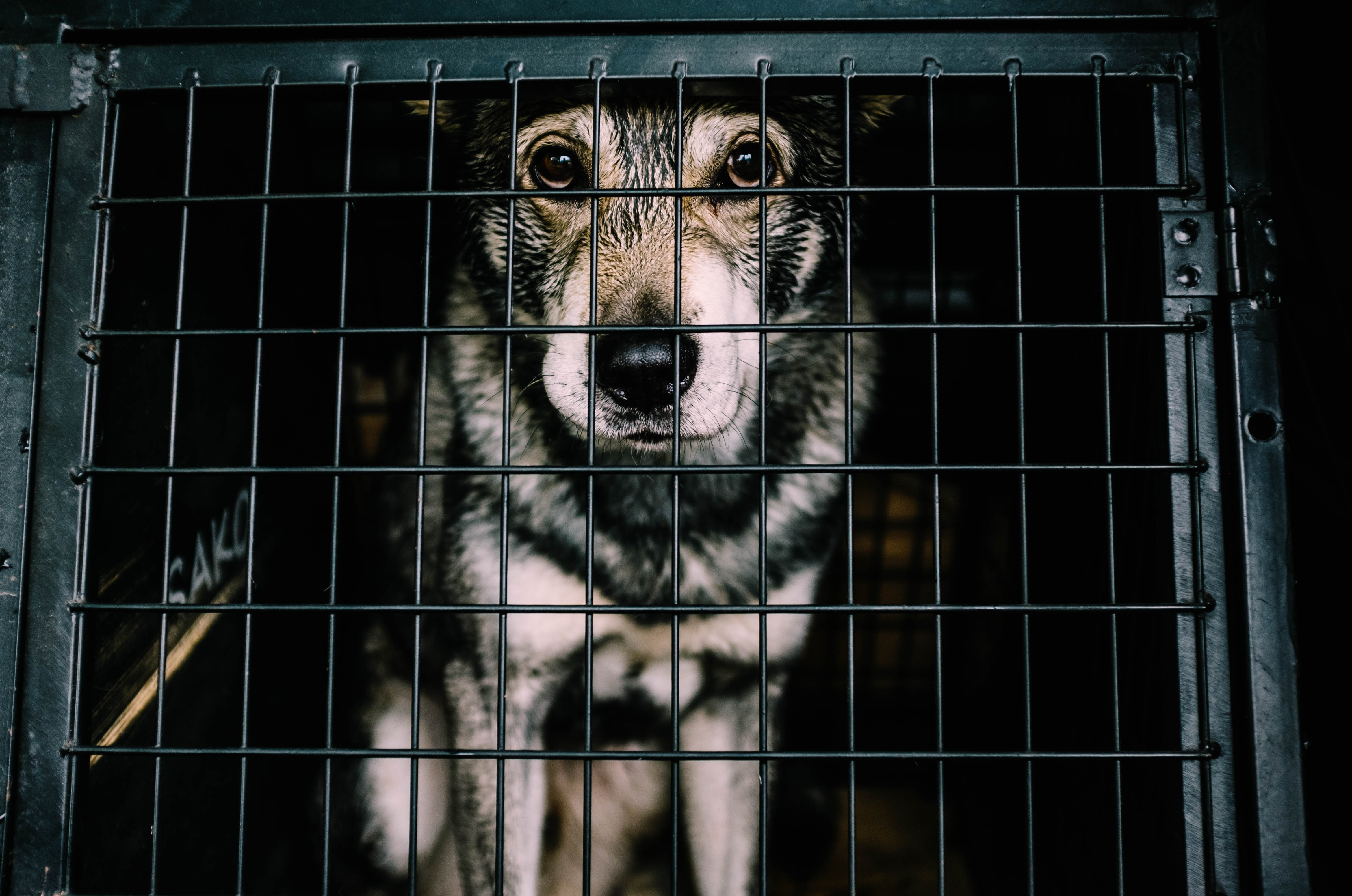 A dog in a cage-Dog Eating Festival