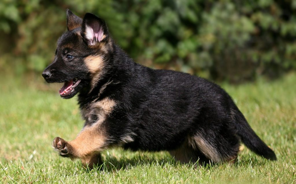 German Shepherd 8 weeks