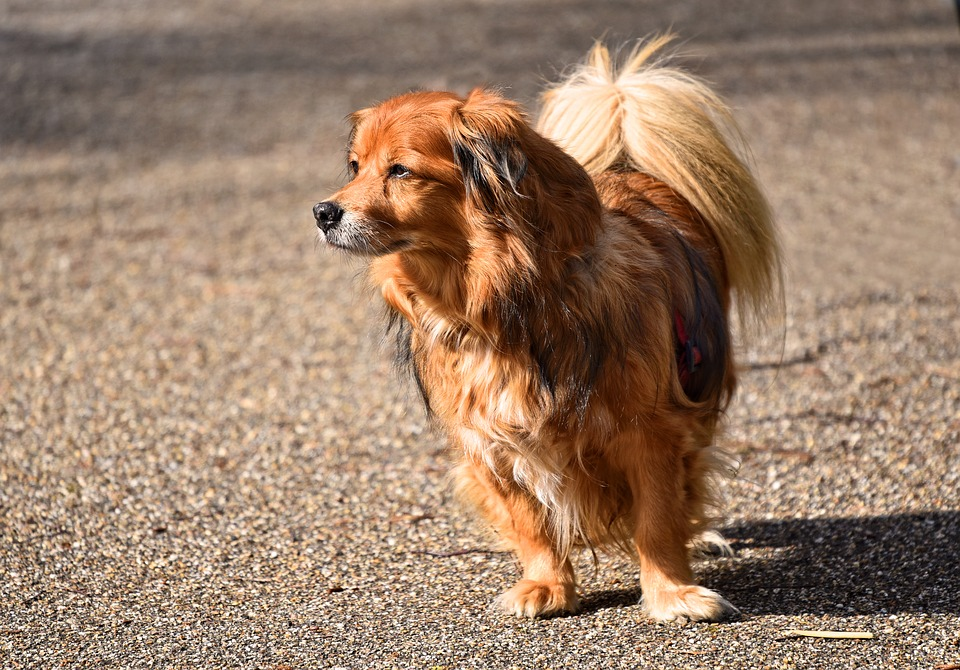 7 Long Haired Small Dog Breeds