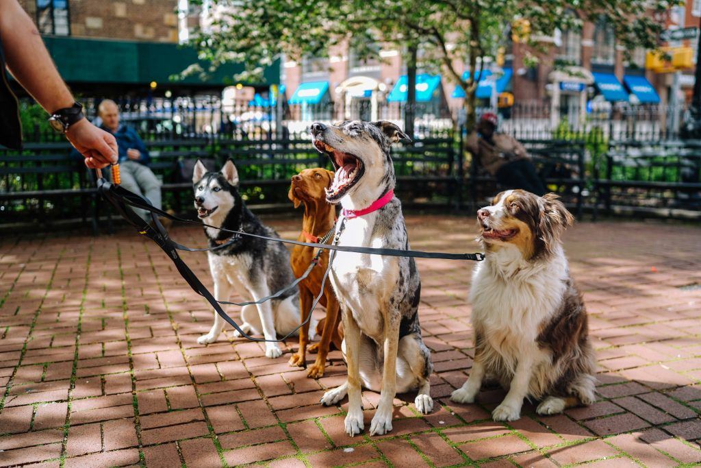four leashed dogs leash training a puppy