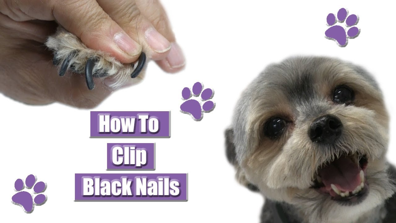 How to Find The Quick on Black Dog Nails Easy Steps