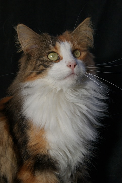 orange cat breeds Norwegian Forest Cat