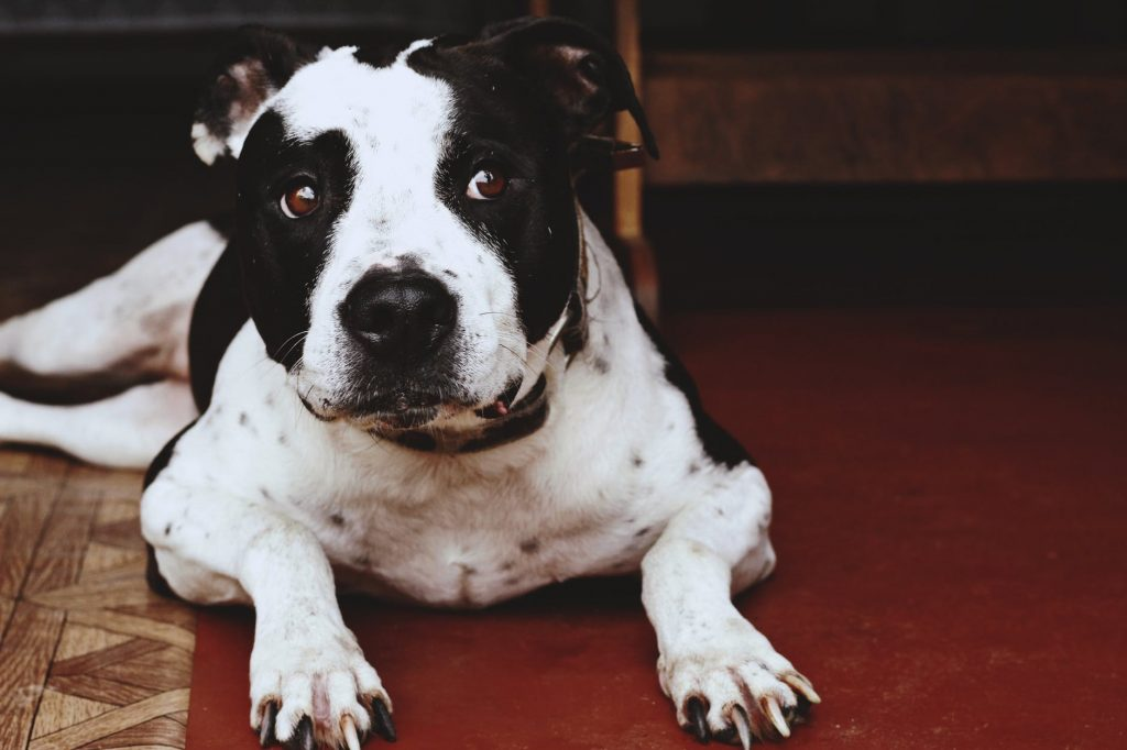The American Pit Bull Terrier. Emotional Support Dog Training