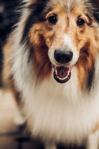 do dogs lose their teeth
