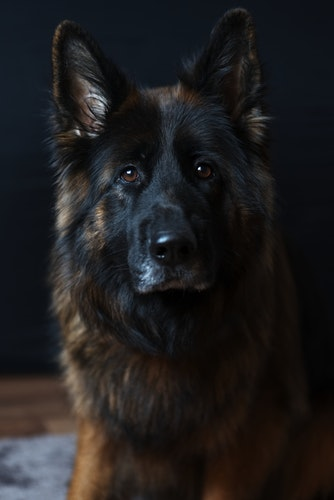 portrait of A GSD. German shepherd puppies