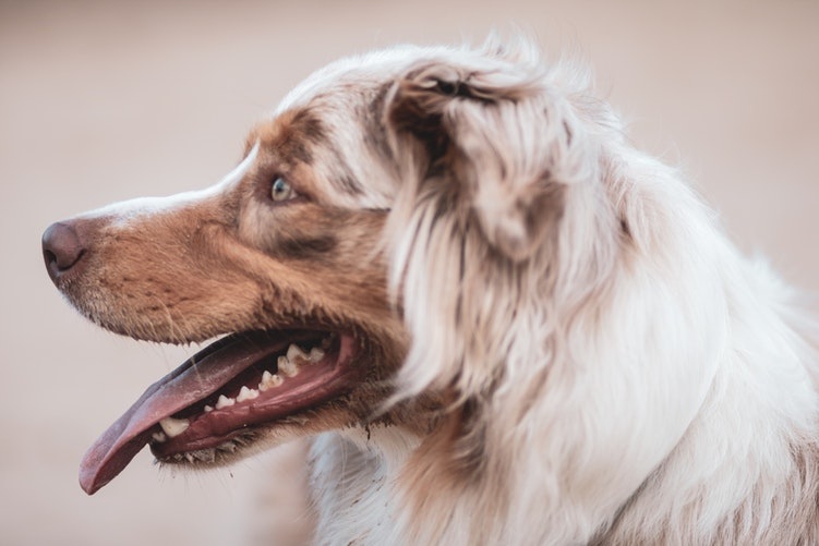 do dogs lose their teeth?