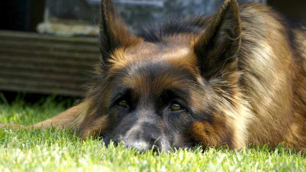 15 German Shepherd Facts You Don't Know but Def. Should |