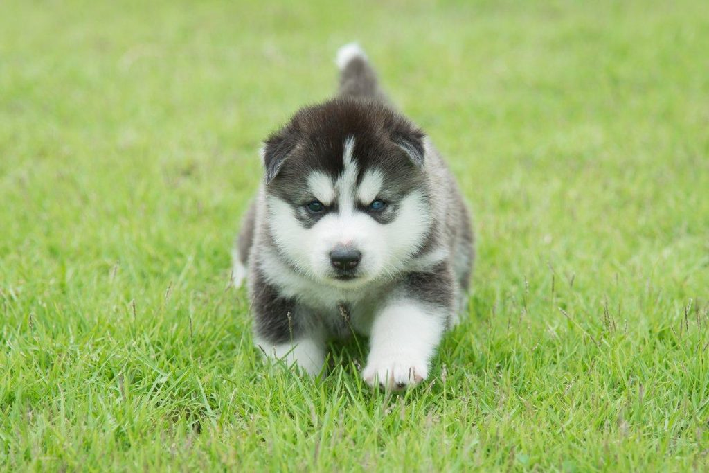 training a husky puppy