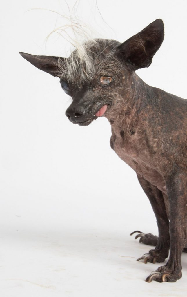 Sweepee Rampoo. The World's Ugliest Dog Competition